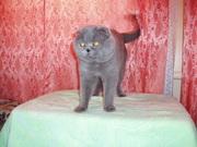 Вислоухий кот для вязок