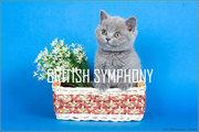 Британские котята от британского кота из Голландии.