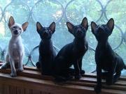 ориентальные сиамские котята