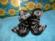 Продам котят породы скоттиш-фолд и скоттиш-страйт
