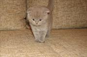 продам котят британцев