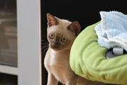 Срончо продается!!! Бурма девочка (котенок)