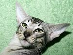 Чистопородные ориентальные и сиамские кошки - идеально для занятых люд