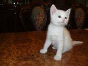 Продам котят: белую девочку и полосатого мальчика