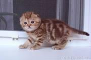Мраморных скоттиш-фолдов и скоттиш-страйтов котят!