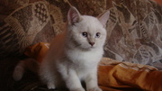 Шотландские котята скоттиш фолд и скоттиш страйт,  Донецкая обл.