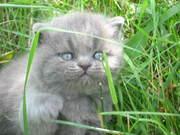 Шикарные шотландские и британские котята с родословной для Вас