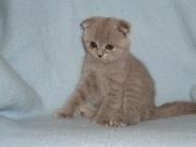 Продам шотландаских вислоухих котят