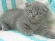Шотландские голубые котята