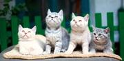 Элитные британские котята по летним ценам