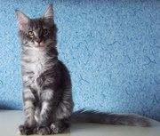 Мейн кун котята из питомника BRIGHT STAR