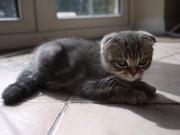 Шотландский вислоухий котёнок,  Киев