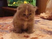 котята персы- классики