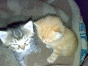 Котята с предками мраморной окраски