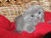 Пушистые шотландские вислоухие котята