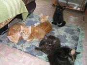 Продам милых котят мейн-кун