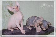 Продам котят Канадского сфинкса 1500грн