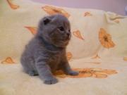 Отличные клубные шотландские котята от титулованных родителей