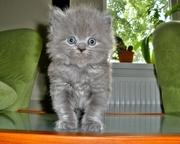 Прелестный британский котёнок