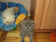 Отличные шотландские котята от чемпионов родителей