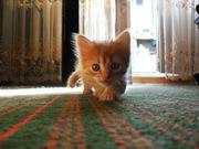 Отдам котенка в заботливые руки Киев (область)