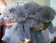 Продам шотландских своих котят.