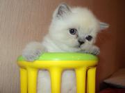 Питомник продает котят скоттиш фолд и страйт
