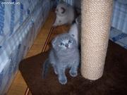 шотландские вислоухие котятки