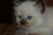 Котята Невской маскарадной от титулованных родителей, с родословной