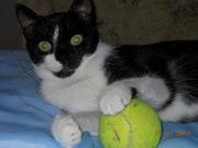 Чёрно-белая гладкошерстная стерилизованная кошка Ася,  1 год.
