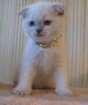 чистокровный вислоухий кот
