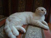 Элитные шотландские вислоухие котята