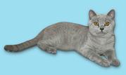 Продам лилового британского кота