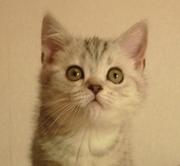 Lafina,  скоттиш страйт,  шоколадный мрамор на серебре,  ДР 24.10.2013,  в