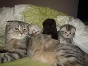Трое шотландских котенка-мальчики,  вислоухие,  2, 5 мес. Папа наш котик