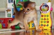 Абиссинский котенок-мальчик дикого окраса