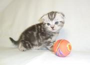 Предлагаем вислоухого котенка по кличке Бурбон,  черный мрамор на сереб