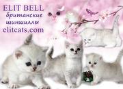 Британские породные котята