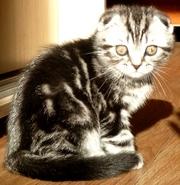 Продается великолепный шотландский вислоухий котенок очень красивого о