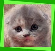 Котята вислоухие. Роскошные прижатые мини-ушки!