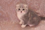 Породистые шотландские котята