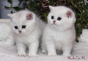 Шиншиловые котята от лучших производителей.