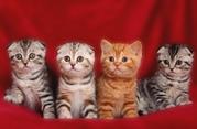 Шотландские яркие эффектные котята! Питомник. Доставка.