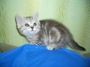 Продам котёнка Скоттиш-Стрит,  окрас чёрный мрамор на серебре.