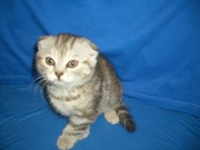 Продам котёнка Скоттиш-Фолд, окрас Чёрный мрамор на серебре.