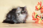 Золотой мраморный зеленоглазый персидский малчик