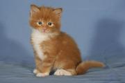 Мейн-куны. Котята из питомника.