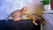 Бенгальские котята не дорого, осталось 2 мальчика