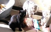 продам британского котенка редкого шоколадного окраса и пепельного мра