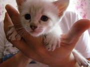 Тайские котята ждут своих новых хозяев
